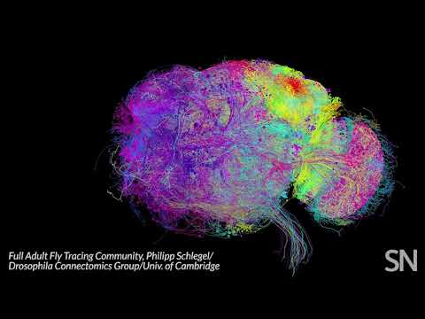 This colorful web is the most complete look yet at a fruit fly's brain cells | Science News