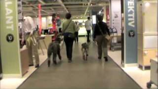 "Service Dogs In Training And A ""service Dog"" At Ikea"