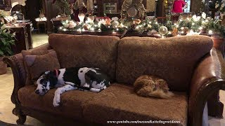 Great Dane Puppy and Cat Enjoy Nap Time Together