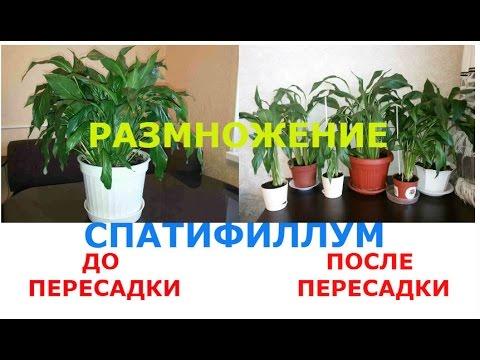 Спатифиллум / Цветок Женское счастье РАЗМНОЖЕНИЕ и ПЕРЕСАДКА Spatiphyllym