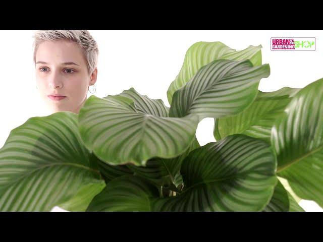 NENA - Korbmarante Orbifolia