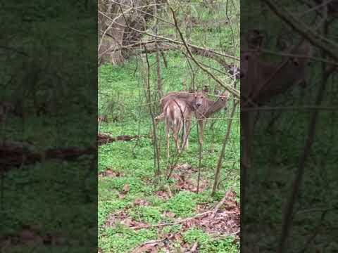 Deer in Lake Roland Park - Baltimore MD