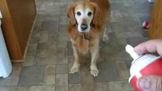 My Golden Retriever Vinny Barking At The Whipped Cream Can