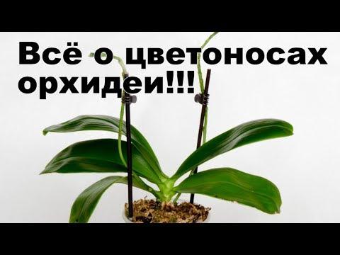 Цветонос орхидеи замер и вырос коротким Что делать  с цветоносом? Как стимулировать цветение орхидеи