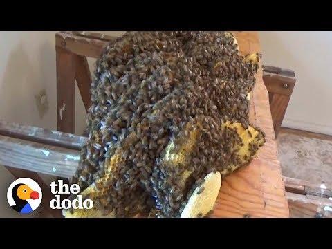 Man Removes Huge Beehive Hidden Beneath Floor | The Dodo