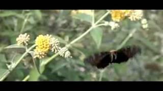 dagpauwoog op honeycomb buddleja