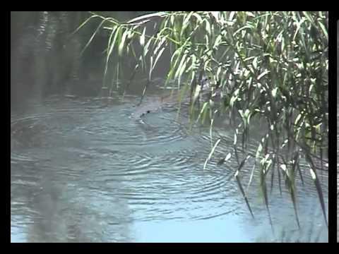 Crocodile and Manatee in Jamaica