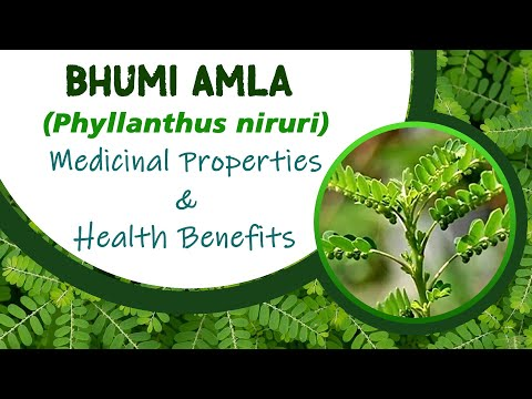 Bhumi Amla - Medicinal Properties & Health Benefits