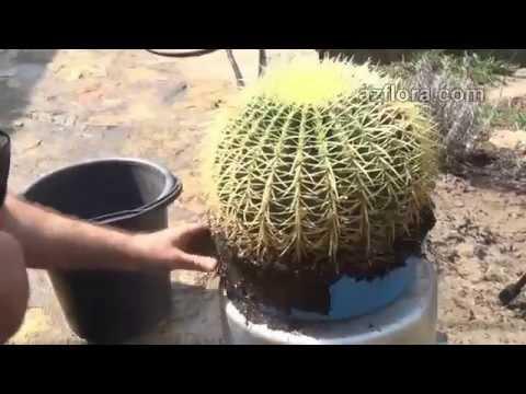 Как пересадить большой кактус?