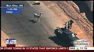 Epic Llama Chase Captivates Nation: Part 2