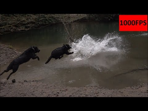 [Animal] Dog Playing in Water - 1000FPS - Slow Motion - Hund springt ins Wasser - CC0