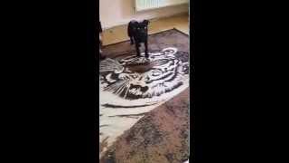 Zoé Angol Staffordshire Bullterrier