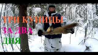 Три куницы за два дня!!! Three martens in two days !!!