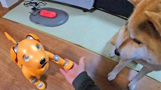 柴犬タロウと家族の日記。 タロウとアイボのモミジ、お手の応酬に困惑。 Shiba Inu and the dog robot AIBO get along well. aiboキャラメルエディション ...