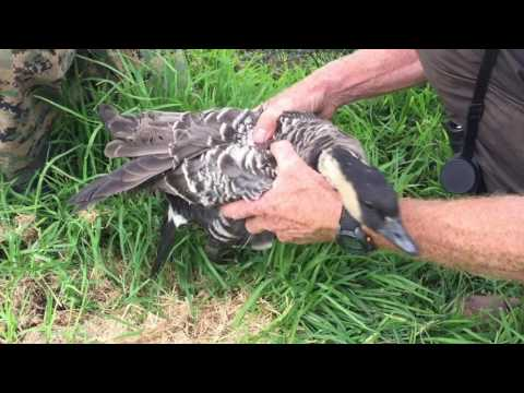 Nene Goose capture, banding, and release. Ohh sweet release.