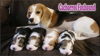 AMERICAN FOXHOUND BEBES cachorros american foxhound