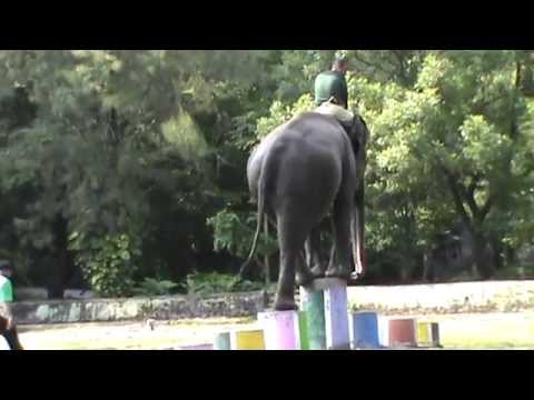 Melatih Gajah / Elephant Training