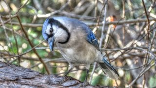 Tufted Titmouse Teaches Blue Jay About Peanuts