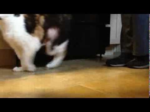 diabetic cat's strange walk