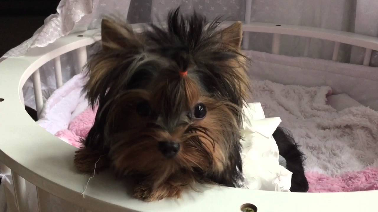 CLIENT GALLERY | ChantaillyLace Breathtaking Yorkie Puppies For Sale