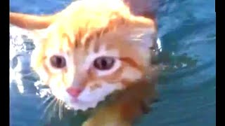 swimming cats in pool  can a cat swim in water