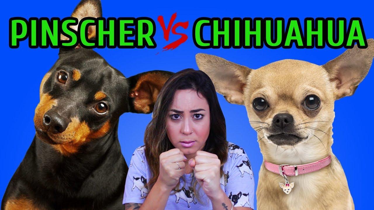 Tudo Sobre A Raça Pinscher Tudo Sobre Cachorros