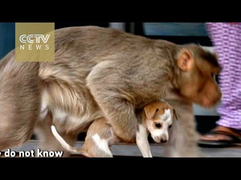Monkey raises puppy dog on street