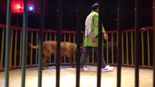 高知県にある土佐犬センターのショーです。