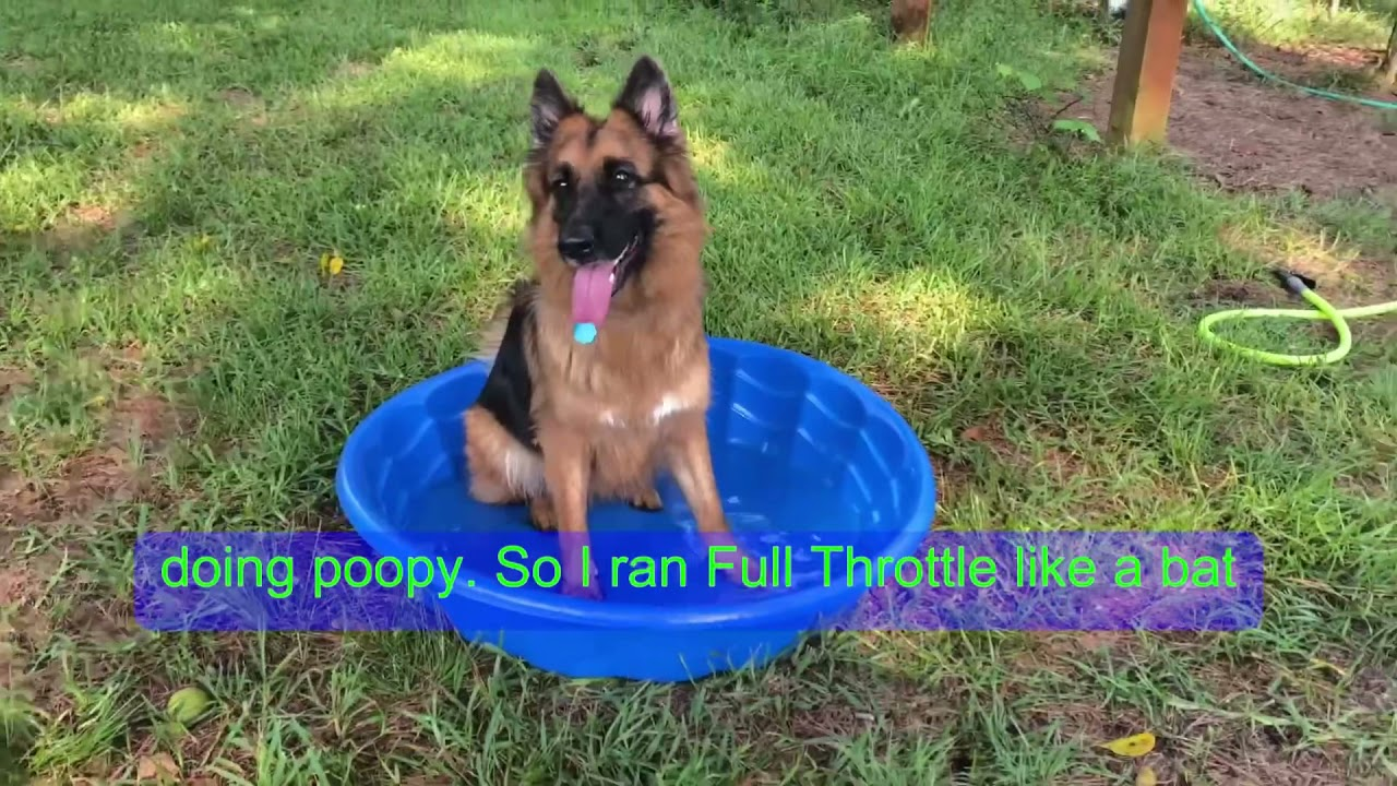 My German Shepherd Slipped Into Her Kiddie Pool