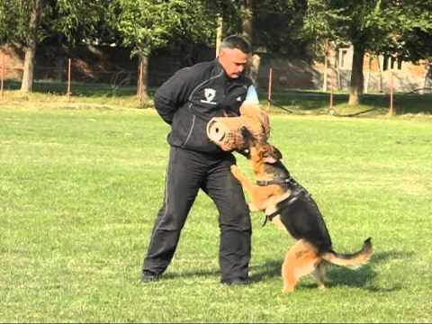 german shepherd protection training german shepherd protection dogs training female tonka