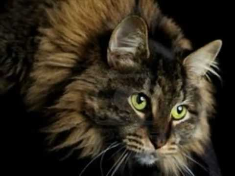O Maine Coon - O gigante gentil!!! The giant cat!