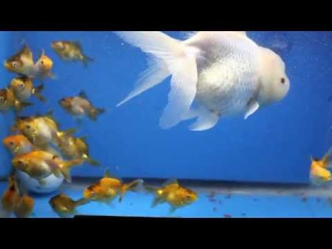 White oranda goldfish - photo#23