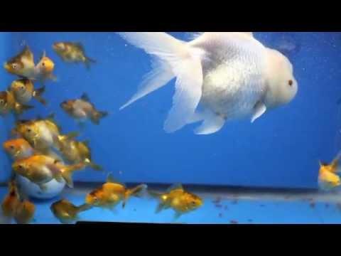 Goldfisch Baby