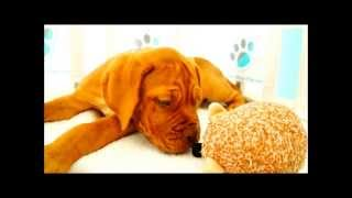 Dogue De Bordeaux Puppies For Sale!