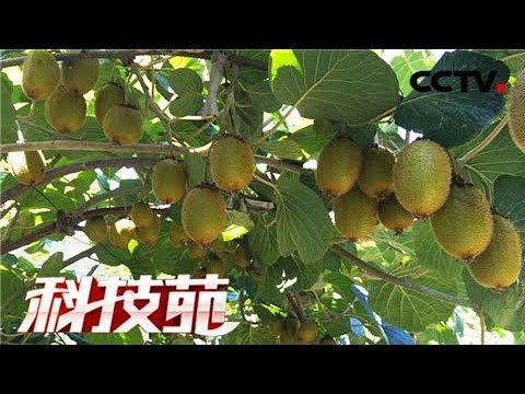 《科技苑》 20171214 让猕猴桃多结果 | CCTV农业