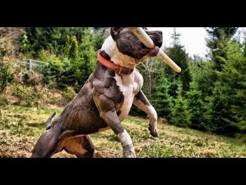 True best pitbull bloodline Red Family Hemphill | FunnyDog TV