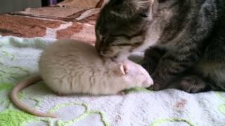 Кот заботится о домашней крысе.