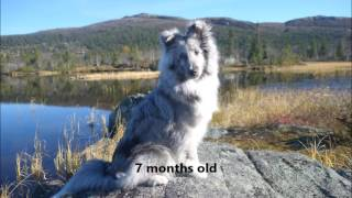Sheltie Mio's everyday life & the beginning of his agility training, 68 months old