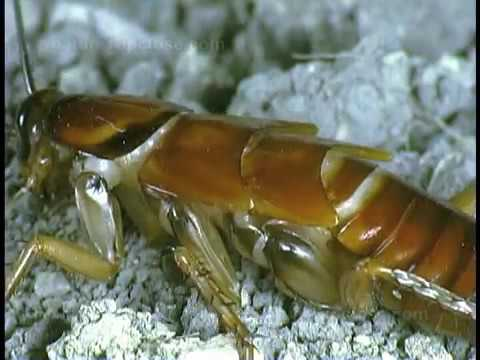 Download Cockroach molting
