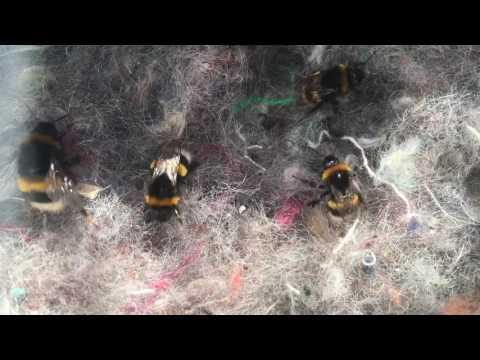 Schwegler Hummelnistkasten, dunkle Erdhummel - Bombus terrestris / Bumble Bee 14.April-22.Juni 2016
