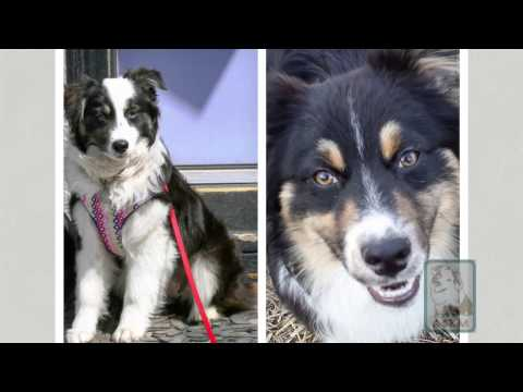 Australian Shepherd Rescue Midwest - HSMO 41