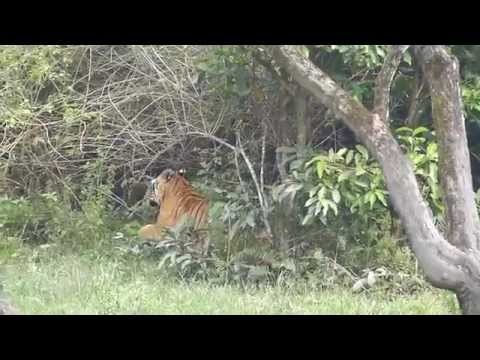 Tiger, Wild dog and other animals in Nagarhole National Park, Karnataka