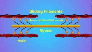 5. Details of Actin-Myosin Crosslinking