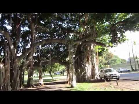 kapiolani park tree tunnel banyan tree hawaii oahu honolulu 20150416 AM0745