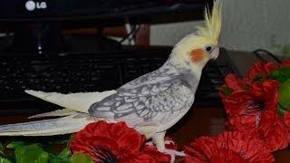Попугай корелла --нимфа,  мальчик Ричи поет песни.(Попугай корелла --нимфа, мальчик Ричи 5м. поет песни. Игровой стенд для попугая., 2014-02-22T20:38:23.000Z)