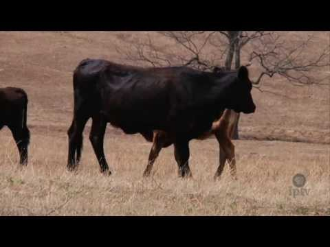 Great Drought Forces Cattle Sell-off