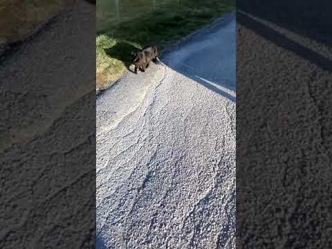 Norwegian forest cat runaway attempt