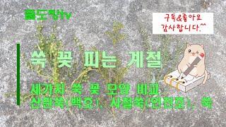 세가지 쑥 종류 꽃 모양 비교 - 쑥, 산흰쑥, 사철쑥…