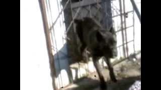 О породе, собака кане-корсо, смотреть фильмы  про  любовь к породе, кане-корсо лаванда