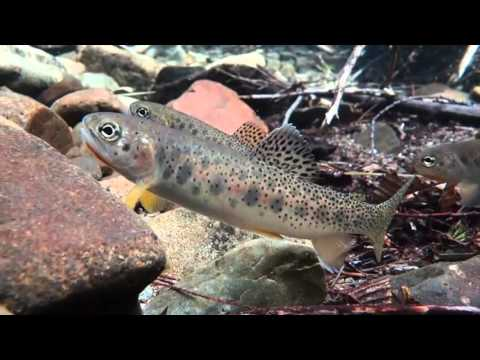Underwater stream fish oregon chub trout salmon video for Todd s tropical fish